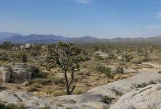 Joshua Tree in Desert Landscape stock images