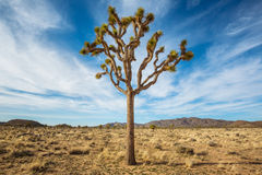Joshua Tree in the Desert Royalty Free Stock Images