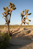 Joshua tree. A joshua tree in the desert with mountains and blue skies in the background Royalty Free Stock Images