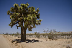 Joshua tree Stock Image
