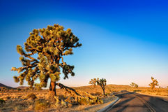 Joshua tree and desert road before sunset Royalty Free Stock Images