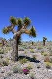 Joshua Tree and Desert Wild Flower Stock Photos