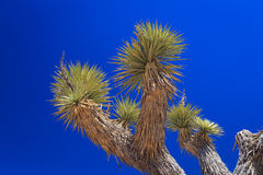 Joshua tree detail Royalty Free Stock Photos