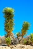 Joshua tree dolina śmierci Zdjęcie Stock
