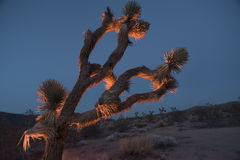 Joshua tree at dusk Stock Images
