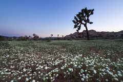 Joshua Tree e Wildflower Fotografia Stock