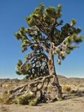 Joshua Tree elevando-se em Joshua Tree National Park, Califórnia fotografia de stock