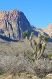 Joshua Tree en Geschilderde Rotsen Nevada Stock Afbeeldingen