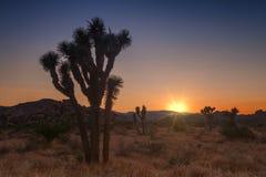 Joshua Tree en la puesta del sol Fotografía de archivo