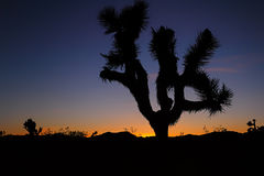 Joshua Tree en la puesta del sol Imágenes de archivo libres de regalías