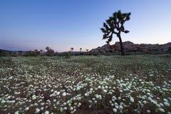 Joshua Tree et Wildflower Photographie stock