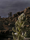 Joshua tree flora. Nolina after desert storm in winter royalty free stock photos