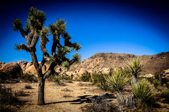 Joshua Tree. In foreground in desert Stock Photos