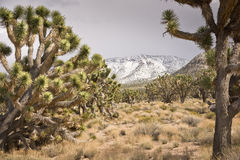 Joshua Tree Forest Stock Photo