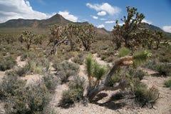 Joshua tree forest, Arizona,USA Royalty Free Stock Image