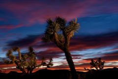 Joshua Tree Forest au coucher du soleil Photographie stock