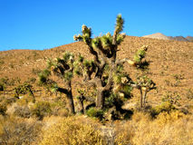 Joshua tree forest (California, USA). Large specimen of Joshua Tree (Yucca brevifolia) in the Mojave Desert (California, USA Stock Photos