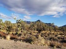 Joshua tree forest. Mojave Desert stock image