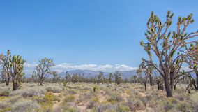 Joshua Tree Forest, Mojave National Preserve, CA Stock Photos