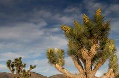 Joshua Tree gegen bewölkten Himmel Stockbilder