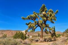 Joshua Tree grande Fotografia de Stock