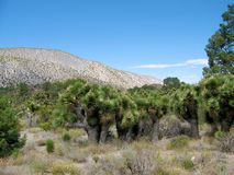 Joshua Tree Grove Royalty Free Stock Images