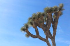 Joshua Tree i den Kalifornien nationalparken Royaltyfria Bilder