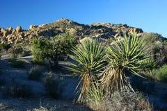 Joshua Tree in Joshua Tree National Park. Joshua tree in a dry and barren landscape royalty free stock image