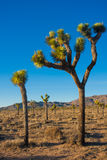 Joshua Tree in Joshua Tree National Park, Kalifornien, USA Stockfotografie