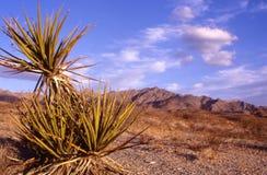 Joshua Tree. Shrub with Sierra Nevada Mountains and sky royalty free stock photos
