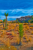 Joshua Tree Landscape Stock Photography