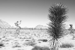 Joshua Tree Landscape Royalty Free Stock Photo