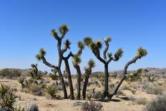 Joshua Tree With Large Boulders solitario en California imágenes de archivo libres de regalías