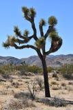 Joshua Tree With Large Boulders solitario en California imagen de archivo libre de regalías