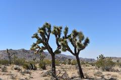 Joshua Tree With Large Boulders solitario en California fotos de archivo