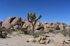 Joshua Tree With Large Boulders solitario en California fotografía de archivo