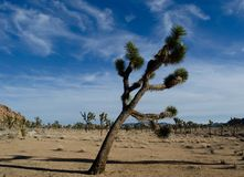 Joshua_tree_leaning royalty free stock photo