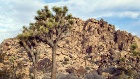 Joshua Tree in Mojave Desert Stock Photo