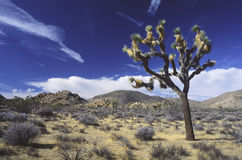 Joshua tree in Mojave Desert Royalty Free Stock Photo