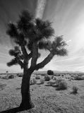 Joshua Tree in Mojave Desert. A Joshua tree in the Mojave Desert of Southern California with streaks of clouds in the bright sky Stock Photos