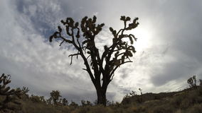 Joshua Tree Mojave National Preserve. Joshua Tree and moving clouds time lapse in the Mojave National Preserve stock footage