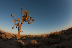Joshua Tree with moon rise Stock Image