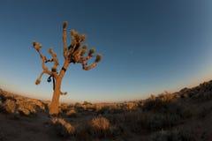 Joshua Tree with moon rise Stock Image