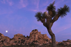 Joshua tree and moon wide Stock Images