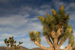 Joshua Tree mot mörk himmel Arkivbilder