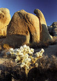 Joshua Tree National Park. Cholla cactus in front of the rock in Joshua Tree National Park Royalty Free Stock Images