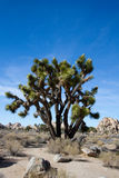 Joshua Tree National Park photos libres de droits