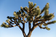 Joshua Tree Stock Images