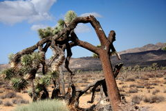 Joshua Tree National Park. The Joshua Tree in Joshua Tree Park in California stock images
