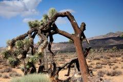 Joshua Tree National Park. The Joshua Tree in Joshua Tree Park in California Stock Images